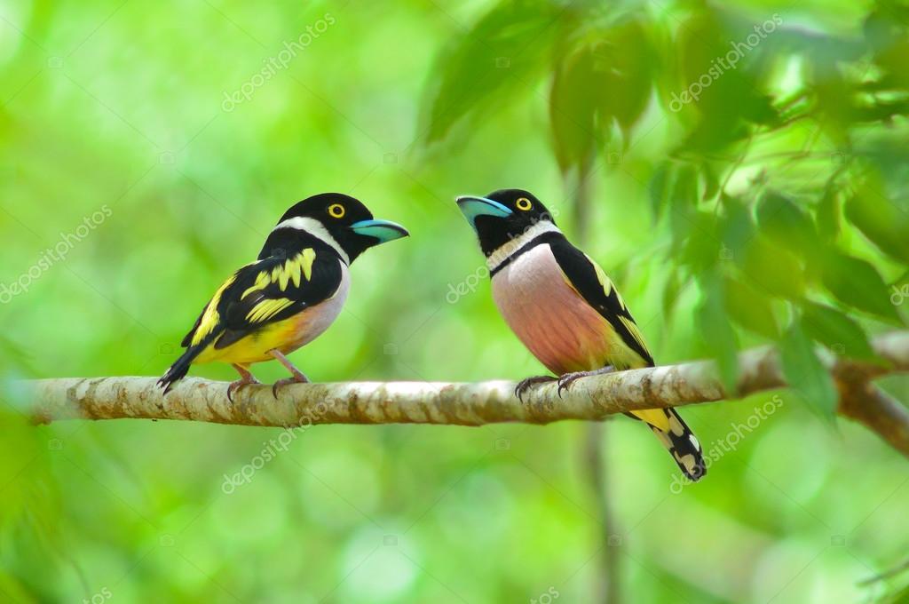 Eurylaime noir et jaune oiseau photographie thawats for Oiseau jaune et noir