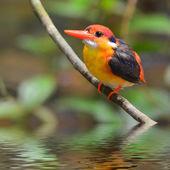 Black-backed Kingfisher bird — Stock Photo