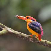 Чепрачный зимородок птица — Стоковое фото