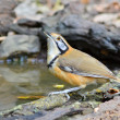 Постер, плакат: Greater Necklaced Laughingthrush bird