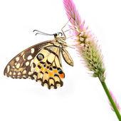 Kireç kelebek çiçek — Stok fotoğraf