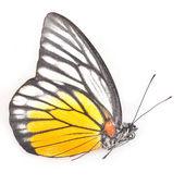 Farfalla bianca e gialla — Foto Stock