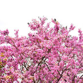 Cananga çiçek — Stok fotoğraf