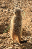Meerkat (Suricata suricatta ) — Stock Photo