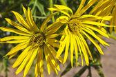 Cup plant (Silphium perfoliatum) flower — Stock Photo