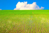 Rice field and blue sky — Stock Photo