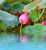 Pink lotus flower among green foliage — Stok fotoğraf
