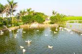 White ducks — Stock Photo