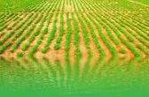 Peanuts fields — Stock Photo