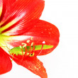 Macro photo of a grasshopper inside of a red lily - Stock Photo