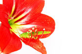 Macro photo of a grasshopper inside of a red lily — Stock Photo
