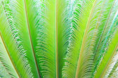 Tropical fern plant with new red leaves — Stock Photo