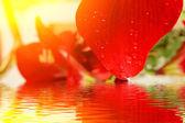 美丽的红百合 — 图库照片