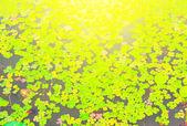 Beautiful water lily — Stock Photo
