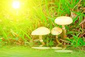 Hongo seta en la naturaleza — Foto de Stock
