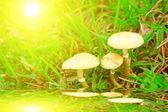 Paddestoel paddestoel in de natuur — Stockfoto