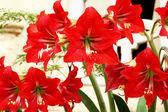 Vacker röd lilja — Stockfoto