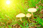 Toadstool mushroom in nature — Stock Photo