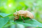 Determine cicadas on leaves — Stock Photo
