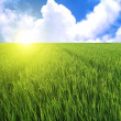 Stock Photo: Rice field in blue sky
