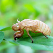 Determine cicadas on leaves — Stock Photo #27060945