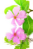 Beautiful pink flower white background — Stock Photo