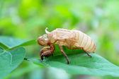 Determine cicadas on leaves — Stock Photo