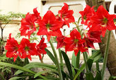 Beautiful red lily — Stockfoto