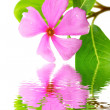 Beautiful pink flower white background  — Stock Photo