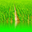 Stock Photo: Paddy rice in field