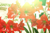 Beautiful red lily — Stock Photo