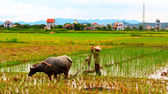 Vietnam farmer work in a field with water buffalo — Photo