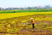 Woman farmer working on a rice field — Stock Photo