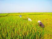 Vietnamese woman farmer harvest — Stock Photo