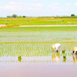 Farmers grown rice in the field — ストック写真