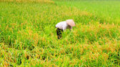 Vietnamese women farmers harvest rice — Stock Photo