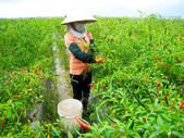 Vietnamese woman farmer picking chili on the field — Stock Photo