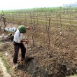 A farmer man earthing soil to the root  of peach trees in the fi — Stockfoto
