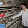 Vietnamese farmer to feed quails — Stock Photo