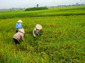 Vietnamese farmer harvest on a rice field — Stock Photo