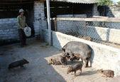 Vietnamese farmer to feed Wild pigs by cassava — Stock Photo
