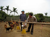 Vietnamese farmer to feed chicken by rice — Stock Photo