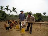 Campesino vietnamita a alimentar el pollo por arroz — Foto de Stock