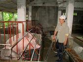 Baño campesino vietnamita para cerdos — Foto de Stock