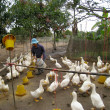 Vietnamese farmer to feed duck by rice — 图库照片