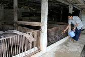 Granjero vietnamita para alimentar a los cerdos — Foto de Stock