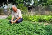 Farmer harvest vegetables — Stock Photo