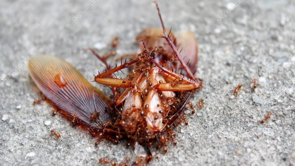 les fourmis mangent des insectes morts photographie. Black Bedroom Furniture Sets. Home Design Ideas