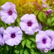 Convolvulus flowers — Stock Photo #32386293