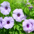 Convolvulus flowers — Stock Photo #32386473